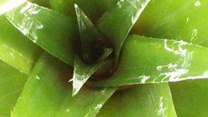 ハワイ花芽2